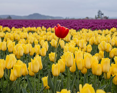 Show your difference! (rahmivolkan) Tags: seattle flowers washington tulips pacificnorthwest pugetsound lonelyplanet pnw skagitvalley tulipfestival lale cicek standingout visitseattle lovetheworld thecoolhunter beautifuldestinations bbctravel ink361 turkishfollowers passionpassport cntraveler mytinyatlas pnwonderland guardiancities livewashington guardiantravelsnaps huffpostgram tlpicks roamtheplanet