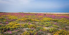 Primavera (SDB79) Tags: costa primavera mare dune natura giallo fiori viola paesaggio molise petacciato