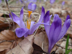 Gorczaskie krokusy (karolina*) Tags: krokus kwiat gorce gry crocus szafran violet fiolet macro