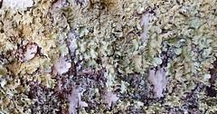Birch World (mazzmn) Tags: macro tree green paper purple growth bark photowalk lichen birch mold hmm goldenhour flickrphotowalk macrotextures