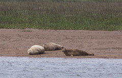 Seals - Boston Belle - Summer 2016 #5 (PontyCyclops) Tags: boston belle river cruise bird watching birdwatching tour the wash south lincs lincolnshire rspb royal society for protection of birds nature wildlife witham mudflats waders harbour seals seal basking