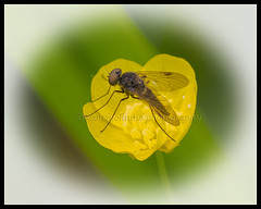 IMG_0033 (Scotchjohnnie) Tags: flower macro nature closeup canon insect fly flora buttercup canoneos macrophotography sciurusvulgaris sigma105mmexdgf28 canon7dmkii scotchjohnnie naturewildlifeandbirds