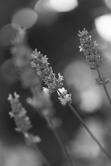 Lavender touched by first morning light (hans_polet) Tags: morning monochrome bokeh 105mm nikkor105mmf28gvrmicro