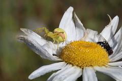 Goldenrod Crab Spider and Prey (AlyssaCarlomusto) Tags: flower macro nature animal canon spider washington