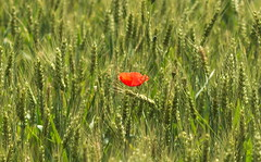 Lonely Poppy (oliko2) Tags: red france flower field barley afternoon depthoffield poppy lonely petite carmague 85mmf18 alsacienne nikond7100
