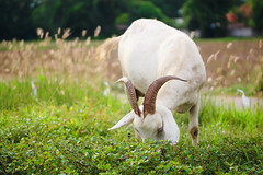 goat eating grass (diary of moon) Tags: agriculture animal asia asian boy care countryside cute ecology farmer farming fence food fowl goat grass green hold lifestyle natural nature one outdoors peasant poultry rural spring standing summer thai thailand village yard young