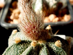 Astrophytum asterias X Astrophytum capricorne hybrid (Skolnik Collection) Tags: cactus x collection hybrid tu astrophytum capricorne asterias skolnik viac
