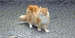 aufmerksamer Beobachter - attentive observer (1) (Jorbasa) Tags: pet tree animal germany deutschland maple oscar hessen oscarwilde mainecoon katze baum haustier kater tier tomcat wetterau ahorn beobachter jorbasa anflugverfahren approachprocedure