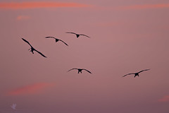On Approach (santosh_shanmuga) Tags: pink sunset red wild orange sun bird beach nature animal silhouette sunrise outdoors fly flying nikon florida outdoor dusk wildlife birding flight aves palm fl backlit 500mm wading rookery roost spoonbill roseate wader d3s