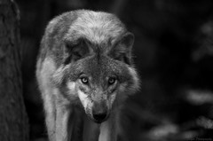 The soul of a wolf (Captions by Nica... (Fieger Photography)) Tags: wolf wolves eyes wildlife animal nature monochrome blackandwhite black white carnivore quebec canada montebello outdoor