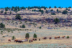 Wild Horses - 1 (rpdphotography) Tags: steensmountains