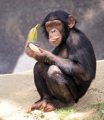 A Banana A Day.... (greekgal.esm) Tags: chimpanzee ape primate zuri animal mammal omnivore losangeleszoo lazoo losangeles griffithpark california chimpanzeesofthemahalemountains sony a77m2 a77mii sal70300g banana delmonte food enrichment akprimates fruit