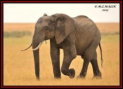 AFRICAN ELEPHANT (Loxodonta africana)....MASAI MARA....SEPT 2015 (M Z Malik) Tags: nikon d3x 200400mm14afs kenya africa safari wildlife masaimara kws exoticafricanwildlife elephants ngc npc