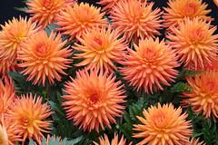Dahlias Taken at Malvern Autumn Show (SHELTIE JAN) Tags: dahlias cactus type orange malvern autumn show display dahlia society