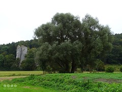 """Silber-Weide (Salix alba L.) am Flu Ach beim """"Hohlen  Felsen"""" nahe Schelklingen -  Willow (Salix) on the river Oh the """"Hollow Rock"""" near Schelklingen (warata) Tags: 2016 deutschland germany sddeutschland southerngermanybadenwrttembergschwaben swabia schwbischealb schwabenalb mittelgebirge pflanze blume river fluss ach bach schelklingen hohlerfelsen weide salix willow landschaft landscape silberweide salixalbal"""