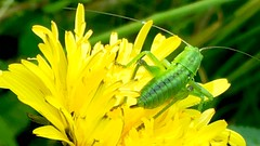 Jump!!! (mobileimpulse) Tags: closeup iphonemacro grasgrün gras gelb grün natur yellow green outdoor animal macro iphone