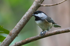 Carolina Chickadee at Ashland Nature Center-1 (Scott Alan McClurg) Tags: emberizidae flickr pcarolinensis paridae passeroidea poecile animal ashland ashlandnaturecenter back backyard bird bokeh carolina carolinachickadee center checkadee eat feed feeder life nature naturephotography neighborhood perch perching smallbirds songbird wild wildlife yard