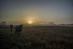 Sunrise with Horses, Germany (Klaus Ficker --Landscape and Nature Photographer--) Tags: sunrise fog morning morninglight horse horses horsefarm bauernhof morgenrot nebel frueh pferde kentuckyphotography klausficker canon eos5dmarkii canonef24105mmf4lisusm