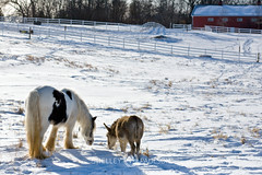 shelleypaulson_2009-199-1 (Shelley Paulson) Tags: donkey equine gallop gypsyvanner horse minnesota snow winter
