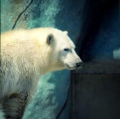 TO Zoo (Joseph Boyce 7) Tags: ontario canada animals cold torontozoo toronto zoo artic winter polarbear mammal bear animal outdoor