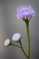DSC_0164 (Kelson Souza) Tags: flores flor primavera campo silvestre florzinha flowers flower