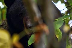 close encounter (lifemage) Tags: black bear wild animal bush nature wildlife bc canada lifemage canon omg holyshit