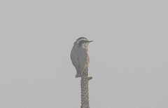 7K8A1724 (rpealit) Tags: scenery wildlife nature stokes state forest sunrise mountain redbreasted nuthatch bird fog