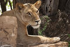 Queen (cabano-82) Tags: kenya tsavo est lioness savana nikond60 sigma 150500