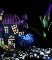 Halloween Fish (danielledufour430) Tags: halloween seasonal october spooky creepy fish scales blue haunted hauntedhouse water underwater swim fins pumpkin jackolantern beta gravel rocks fishtank tank purple dark night hover plant shadows