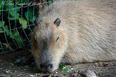 Kangaroo Creek Farm-9 (Lisa2.0) Tags: vernon vacation summer july2016 kangaroocreekfarm bc capybara