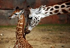 Parental Care (Andy von der Wurm) Tags: holland nature netherlands animal fauna zoo europa europe care parental tier limburg niederlande kerkrade giraffen gaiapark hobbyphotograph fürsorge fuersorge andreasfucke elterliche andyvonderwurm