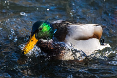 Mallard drake emerging from a dive with a partial water helmet. Salt Creek. Hinsdale, IL. Nov. 20, 2014.