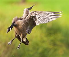 Cackling Goose (orencobirder) Tags: geese flight flickrexport waterbirds xcanonef600mmf4lisiiusm