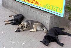 Dog's life in the city. Siesta (AzIbiss) Tags: street city sleeping dog dogs animal animals peace outdoor sleep group dream samsung siesta rest comfort amateur tomsk pro815 samsungpro815