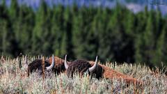 American Bison (Hawg Wild Photography) Tags: green buffalo wildlife american terry yellowstonenationalpark bison wyomingusa nikon200400vr nikond3s