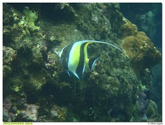 Philippines - Mabini - Anilao (olivierzeworld) Tags: voyage mer novembre philippines snorkeling anilao batangas tuba poisson palme masque maure 2014 mabini idole expatriation