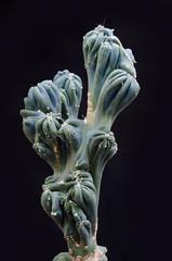 Cereus forbesii 'Ming Thing' (H Richard Ellis) Tags: cactus cereus monstrose forbesii mingthing cugreenhouse cereusforbesiimingthing