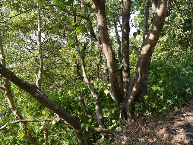 Ficus arnottiana