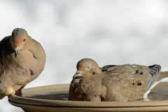 Hot Tubbin_49636.jpg (Mully410 * Images) Tags: winter snow cold bird ice birds backyard birdbath dove birding mourningdove birdwatching birder