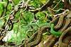 Oriental Vine Snake, Ahaetulla prasina in Kaeng Krachan National Park (tontantravel) Tags: park green asian thailand snake vine curls strangle curly national habitat strangled snakes liana venomous serpents entangled lianas vinesnake strangling whipsnake prasina ahaetulla kaengkrachan kaeng krachan ahaetullaprasina orientalwhipsnake kaengkrachannationalpark orientalvinesnake tontantravel tontantravelcom