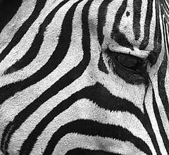zebra black & white portrait (spencerrushton) Tags: africa park summer portrait blackandwhite holiday black beautiful canon eos daylight blackwhite day head parks zebra spencer umfolozi rushton spencerrushton umfolozigamepark