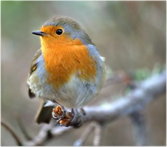 Robin (eric robb niven) Tags: nature robin scotland dundee wildlife robins dunkeld wildbird ericrobbniven pentaxk50