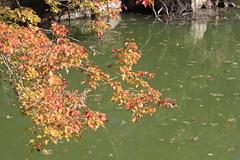 Autumn Lake (Magryciak) Tags: autumn newzealand lake colour green fall nature water leaves leaf pond rotorua sk 2014