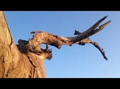 Dies irae (Beat09) Tags: tree nature natur holz baum deadwood