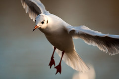 Gull (djshoo) Tags: winter nature birds flight 300mm nottinghamshire 2014