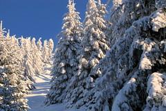 fehér erdő / white forest (debreczeniemoke) Tags: winter snow mountains pine forest landscape hiking hegy transylvania transilvania pineforest tájkép gutin erdély hó tél erdő túra fenyő fenyves rozsály kakastaréj canonpowershotsx20is gutinhegység munţiigutâi creastacocoşului munţiigutin gutinmountains