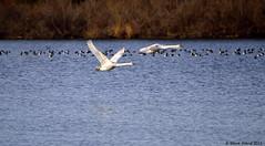 Mute Swan (Cygnus olor) immatures in flight (2 of 3 present) (Steve Arena) Tags: bird birds flying inflight swan nikon massachusetts flight saltpond d750 immature waterfowl falmouth muteswan cygnusolor 2015 flightshot musw