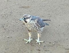 Peregrine Falcon (helmutnc) Tags: hg sweetfreedom specanimal hennysanimals dailynaturetnc12