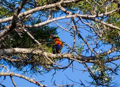 v2-5673 (Jackie888) Tags: summer birds afternoon lorikeet australia queensland rainbowlorikeet mygarden mybackyard