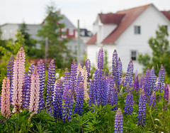 Lupins (Mary Susan Smith) Tags: travel flowers vacation newfoundland holidays village trinity wildflowers lupins eastcoast shallowdof